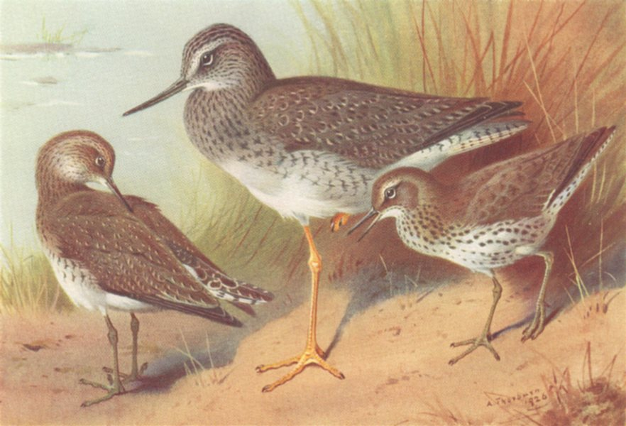 Associate Product BRITISH BIRDS. Solitary Sandpiper; Greater Yellowshank; Spotted. THORBURN 1926