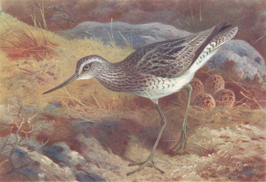 Associate Product BRITISH BIRDS. Greenshank. THORBURN 1926 old vintage print picture