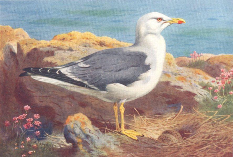 Associate Product BRITISH BIRDS. Lesser Black-Backed Gull. THORBURN 1926 old vintage print