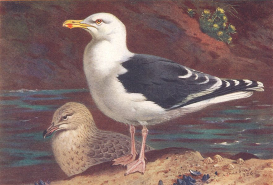 Associate Product BRITISH BIRDS. Great Black-Backed Gull (adult and young) . THORBURN 1926 print