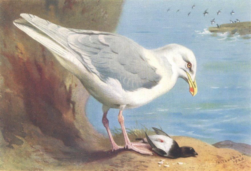 Associate Product BRITISH BIRDS. Glaucous Gull; Little Auk (summer) . THORBURN 1926 old print