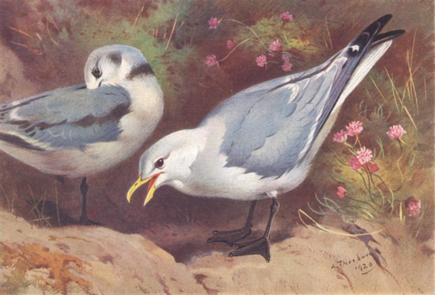 Associate Product BRITISH BIRDS. Kittiwake Gull (adult and young) . THORBURN 1926 old print