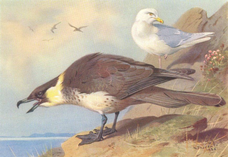 Associate Product BRITISH BIRDS. Pomatorhine Skua; Iceland Gull. THORBURN 1926 old vintage print
