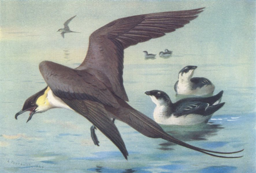 BRITISH BIRDS. Long-Tailed Skua; Little Auk (winter) . THORBURN 1926 old print