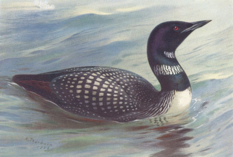 Associate Product BRITISH BIRDS. Great Northern Diver. THORBURN 1926 old vintage print picture