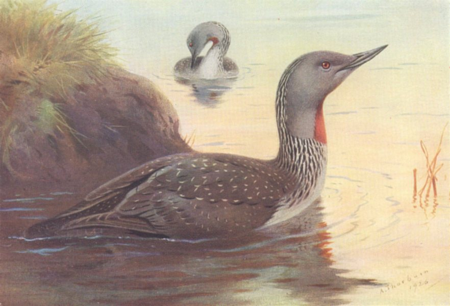 Associate Product BRITISH BIRDS. Red-Throated Diver. THORBURN 1926 old vintage print picture