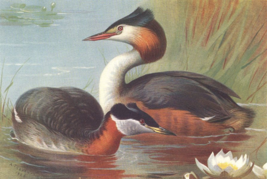 Associate Product BRITISH BIRDS. Red-Necked Grebe; Great Crested Grebe. THORBURN 1926 old print