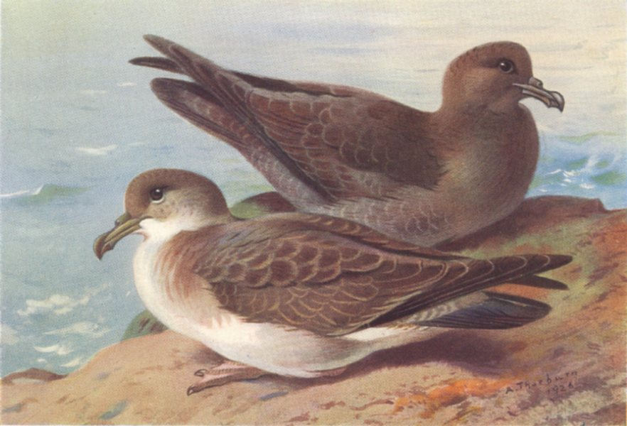 Associate Product BRITISH BIRDS. Great Shearwater; Sooty Shearwater. THORBURN 1926 old print