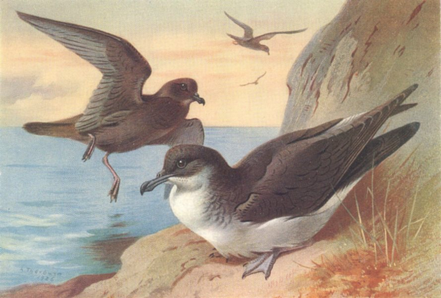 Associate Product BRITISH BIRDS. Bulwer's Petrel; Manx Shearwater. THORBURN 1926 old print