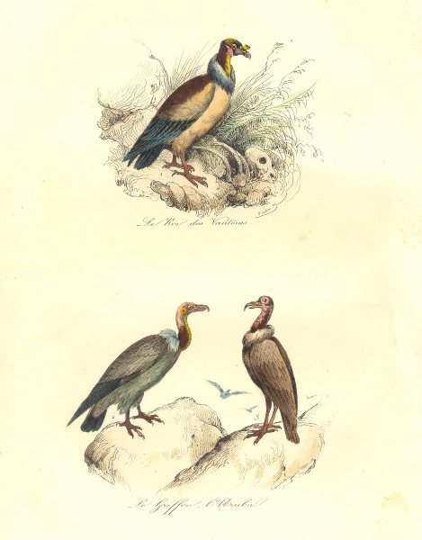 BIRDS. King, Carrion Vulture; Griffon; Roi des Vautours, Urubu. BUFFON 1841