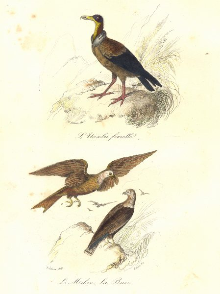 Associate Product BIRDS. Carrion Vulture; Cmn Kite, Buzzard; Urubu, Milan, Buse. BUFFON 1841