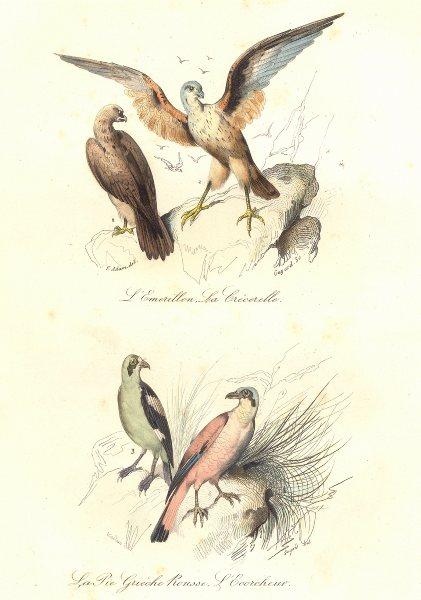 Associate Product BIRDS.Merlin;Kestrel;Woodchat;Red Beaked Shrike;Émerillon,Crécerelle.BUFFON 1841