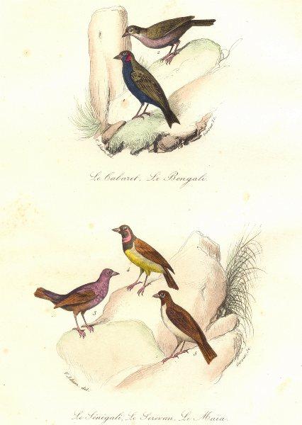 Associate Product BIRDS.Bengal,Senegal Redpole;Serevan;Maia;Cabaret Bengali,Sénégali.BUFFON 1841