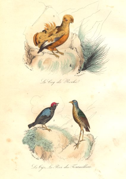 Associate Product BIRDS.American Pheasant,Manakin,Ant King;Coq Roche;Roi Fourmilliers.BUFFON 1841