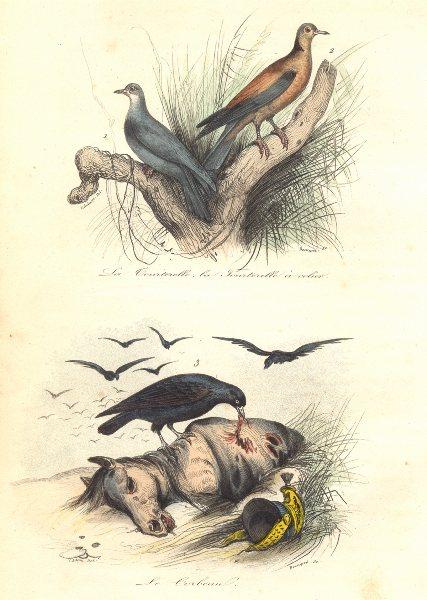 Associate Product BIRDS. Turtle, Ring Dove; Raven; Tourterelle, Colier; Corbeau. BUFFON 1841