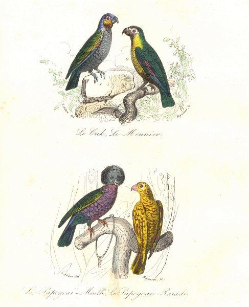 Associate Product BIRDS. Crick, Meunier, Speckled, Paradise Poppinjay; Crik, Papegeai. BUFFON 1841