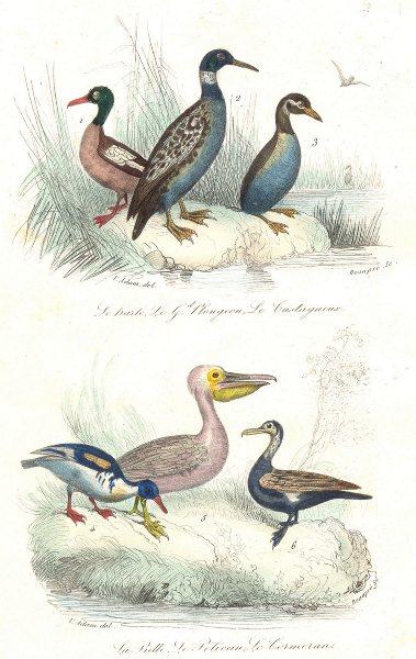 Associate Product BIRDS. Goosander, Great Diver, Dab-Chick, Pewil, Pelican, Cormorant. BUFFON 1841