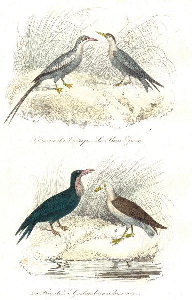 Associate Product BIRDS. Tropic Bird, Tenu, Frigate Bird, Naviat; Frégate, Goéland. BUFFON 1841