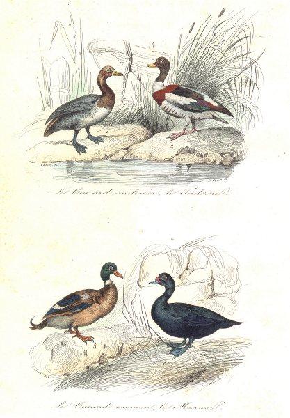 Associate Product BIRDS. Grey Widgeon, Shelldrake, Scoter, Sea Duck; Canard; Tadorne. BUFFON 1841