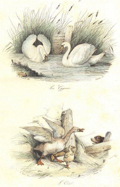 Associate Product BIRDS. Swan, Widgeon; Cygnes; Oiel. BUFFON 1841 old antique print picture