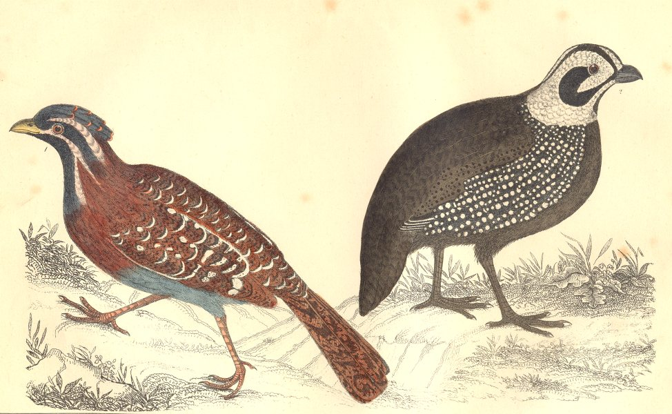 Associate Product QUAIL. Long-tailed Quail; Montezuma's Quail. GOLDSMITH. Hand coloured 1870