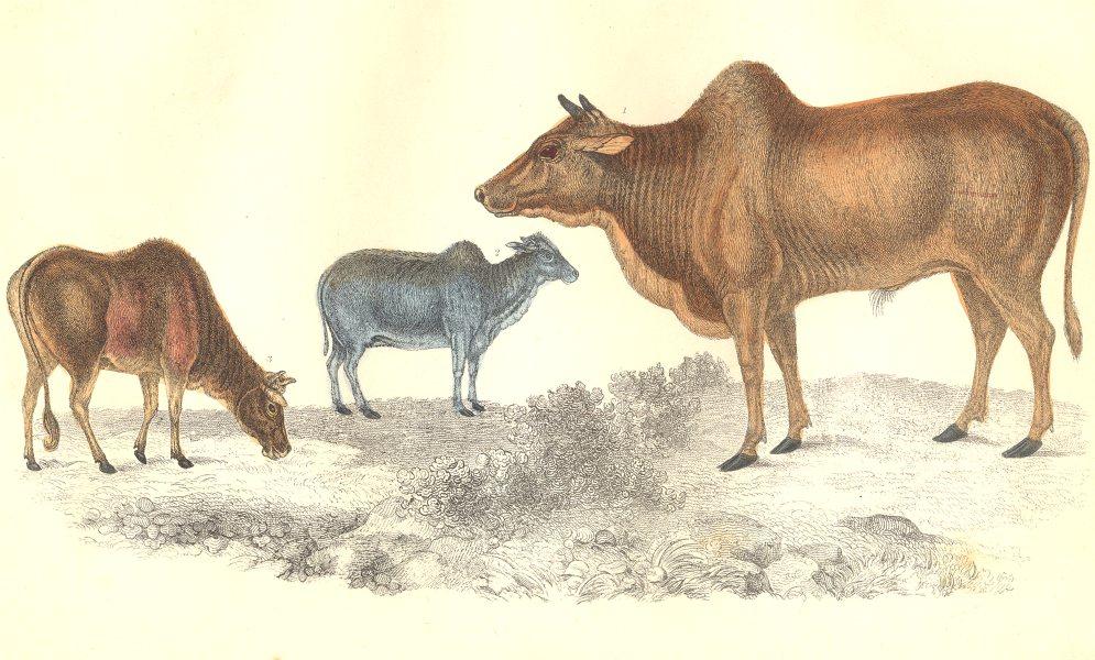 ZEBU. Common Zebu; Small Zebu. GOLDSMITH. Hand coloured 1870 antique print