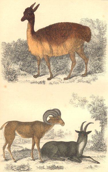 Associate Product MAMMALS. Vicugna of Peru; Argali of Big Horn. GOLDSMITH. Hand coloured 1870
