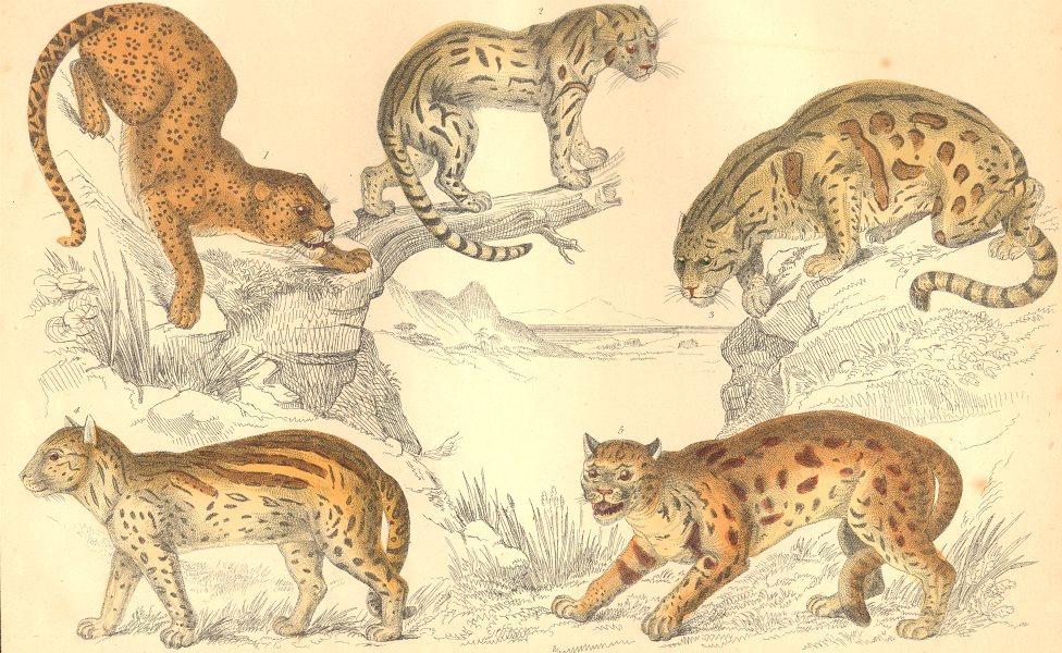Associate Product CATS. Leopard; Neuwied Cat; Clouded Tiger; Ocelot; Sumatra. GOLDSMITH. 1870