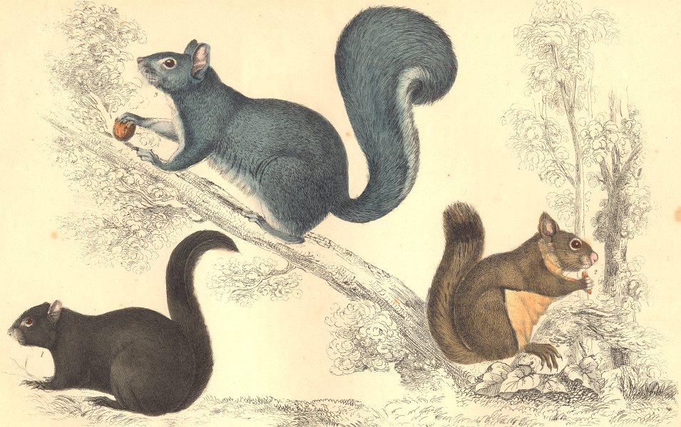 Associate Product SQUIRRELS. American Black Squirrel. Chickaree; Grey. GOLDSMITH. 1870 print