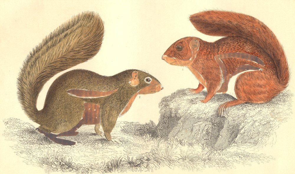 SQUIRRELS.Fire-footed Squirrel;Hottentot Squirrel.GOLDSMITH.Hand coloured 1870