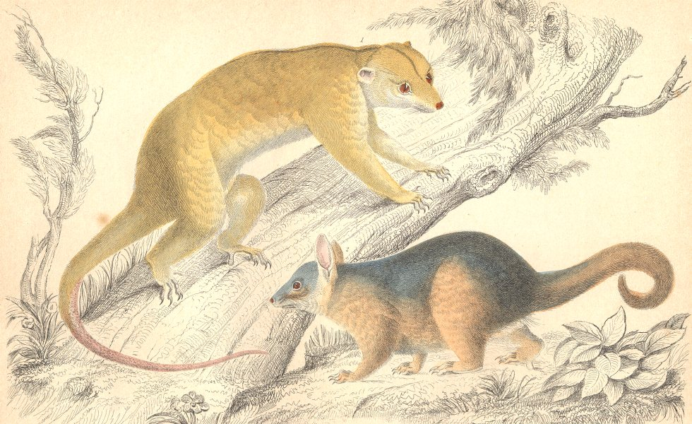 Associate Product MAMMALS. Rapouna Couscoos; Cook's Couscoos. GOLDSMITH. Hand coloured 1870