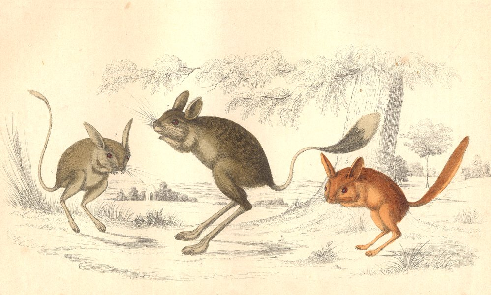 Associate Product JERBOA. Ass-eared; Broad-tailed; Flat-GOLDSMITH. 1870 antique print