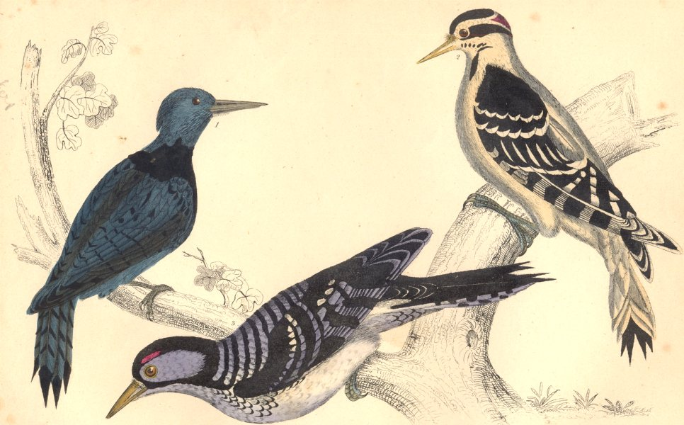 Associate Product WOODPECKERS. Black-breasted; Hairy; Red-cockaded Woodpecker. GOLDSMITH. 1870