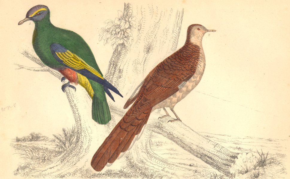 Associate Product PIGEONS.Purple-crowned Pigeon;Red-collared Pigeon.GOLDSMITH.Hand coloured 1870