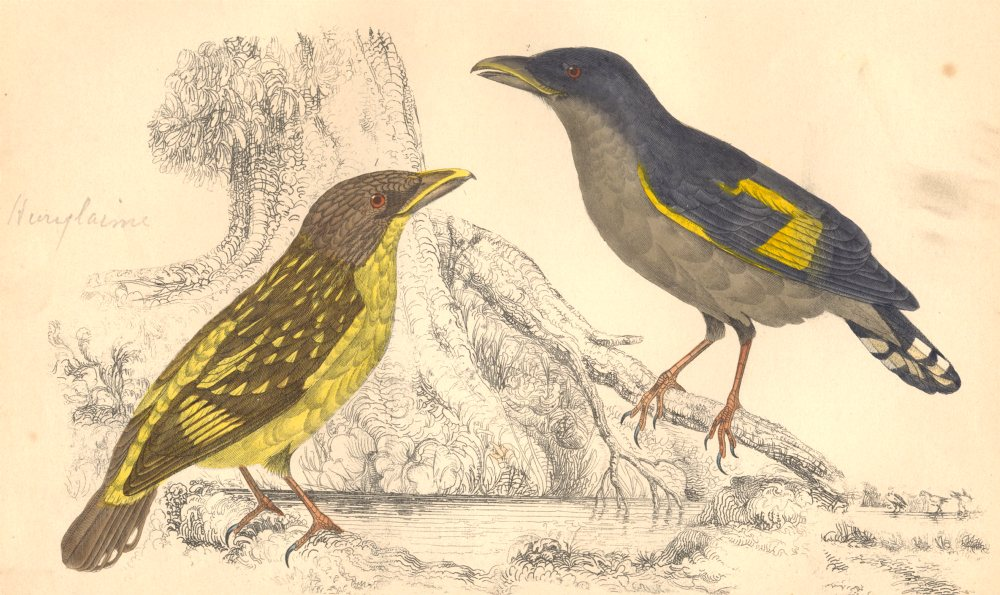 Associate Product EURYLAIMES. Horsfield's Eurylaime (male) ; (female) . GOLDSMITH. 1870 print