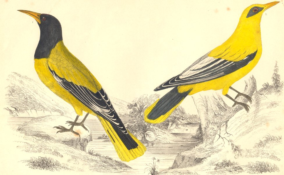 Associate Product ORIOLES.Black-headed Oriole;Black-cheeked Oriole.GOLDSMITH.Hand coloured 1870