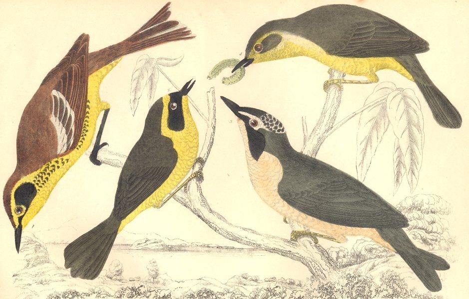 Associate Product WARBLERS. Maryland Yellow-throat; Kentucky Warbler. GOLDSMITH. 1870 print