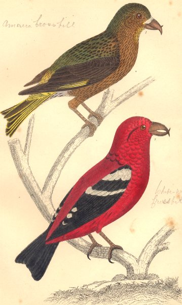 Associate Product CROSSBILLS. American Crossbill (male) . White-winged. GOLDSMITH. 1870 print
