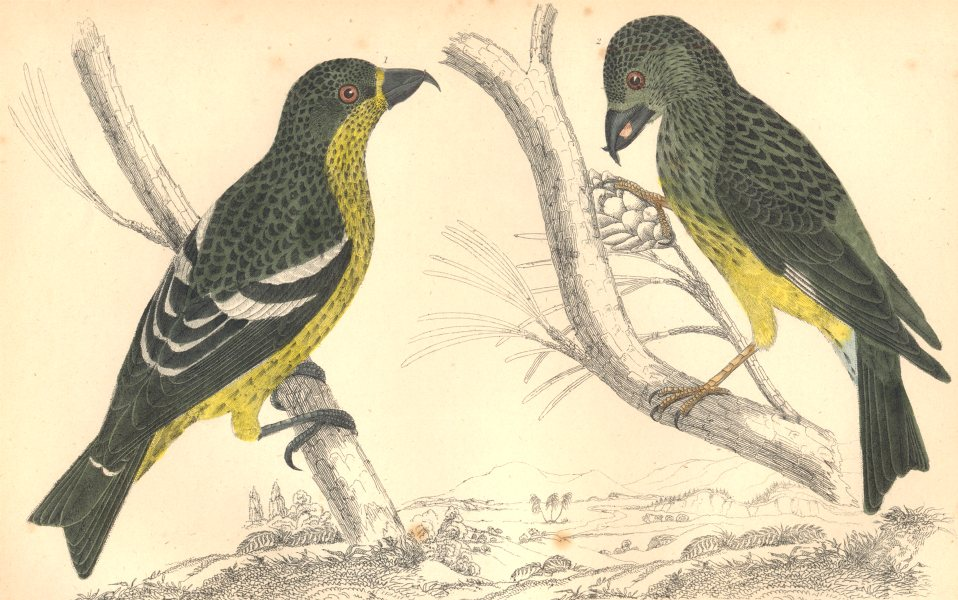 Associate Product CROSSBILLS. White-winged Crossbill (female) ; American. GOLDSMITH. 1870 print