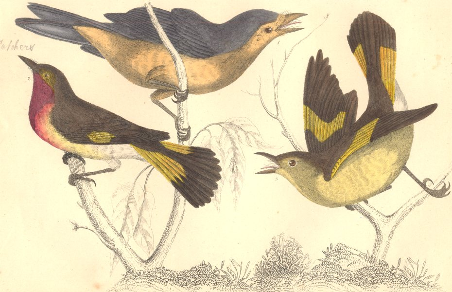 Associate Product GNAT-CATCHERS. Selby's Yellow-tailed Gnat-Catcher. GOLDSMITH. Hand coloured 1870