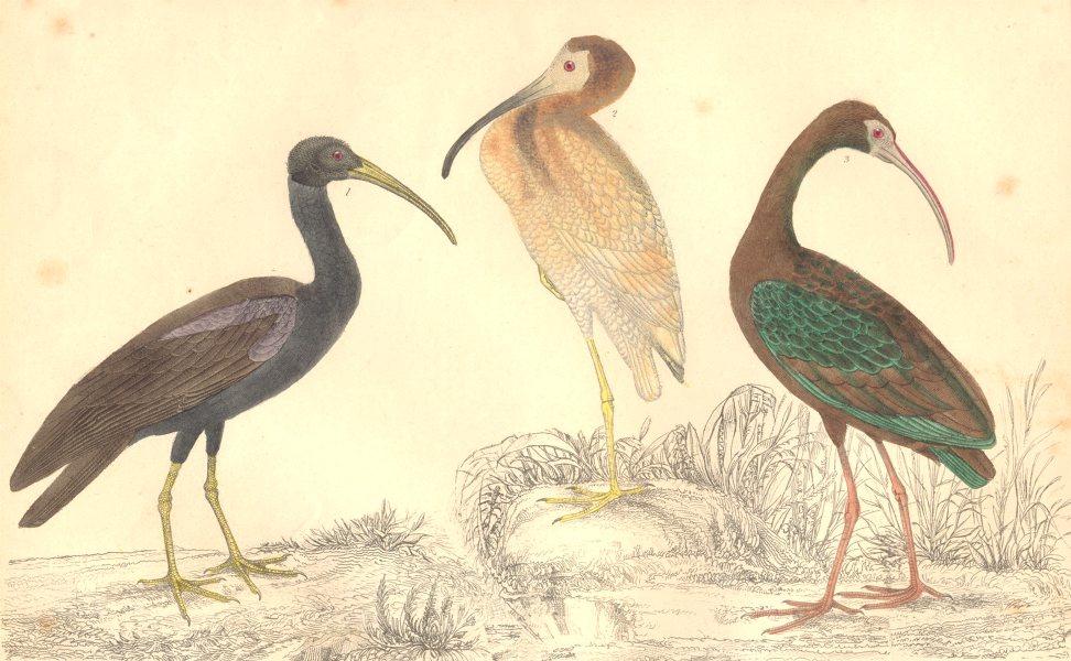 Associate Product IBIS. Papillated Ibis; White; Metallic Ibis. GOLDSMITH. Hand coloured 1870