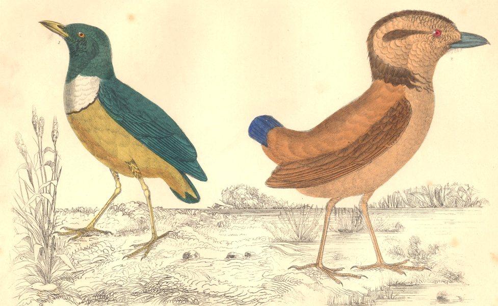 Associate Product BREVES. Macklot's Breve; Giant Breve. GOLDSMITH. Hand coloured 1870 print