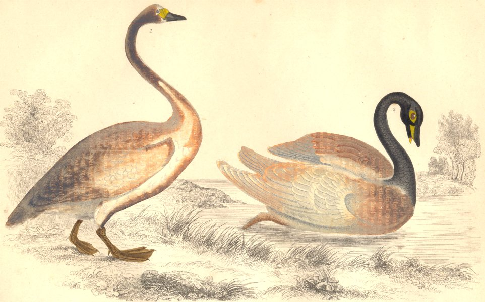 SWANS. Bewick's Swan; Black-necked Swan. GOLDSMITH. Hand coloured 1870 print