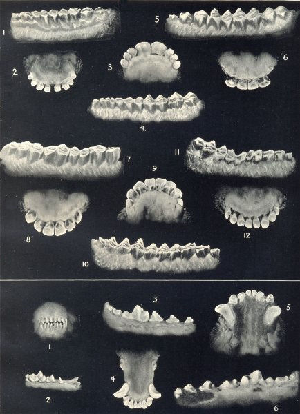 Associate Product AGE OF SHEEP & DOGS. Dentition. Molars and incisors at various ages 1912 print