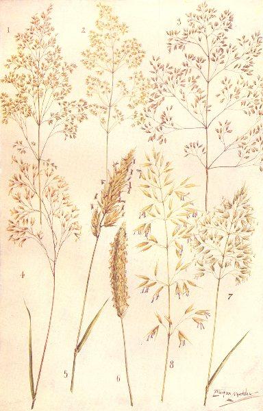 Associate Product GRASSES.Common,Fiorin;Tufted,Wavy Hair;Vernal;Foxtail;Golden,Tall Oat Grass 1912