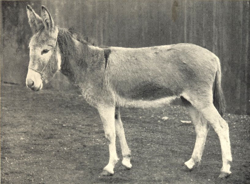 Associate Product DONKEYS. Ewart's Donkey 1912 old antique vintage print picture