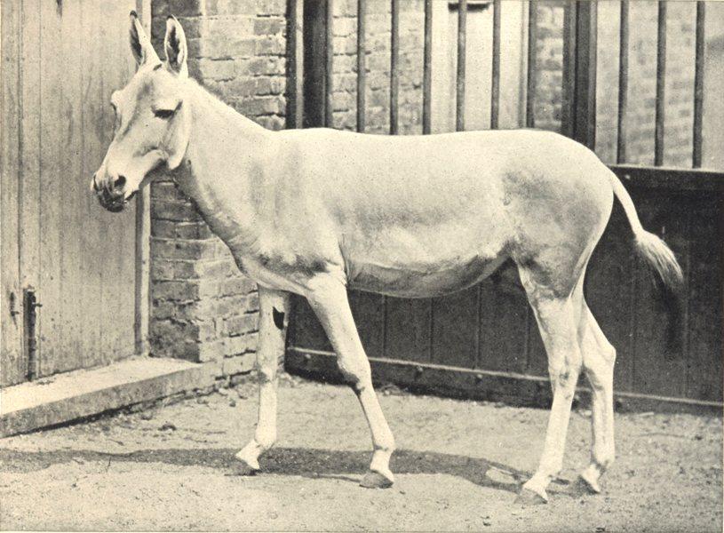 Associate Product HORSES/DONKEYS. Onager 1912 old antique vintage print picture