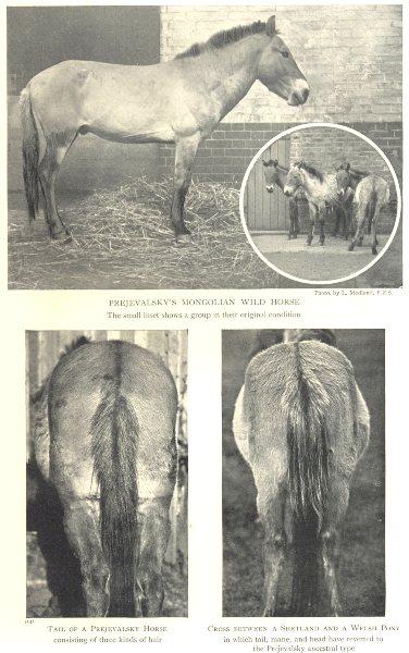 HORSES. Prejevalsky's Mongolian Wild Horse. Tail. Cross Shetland Welsh Pony 1912