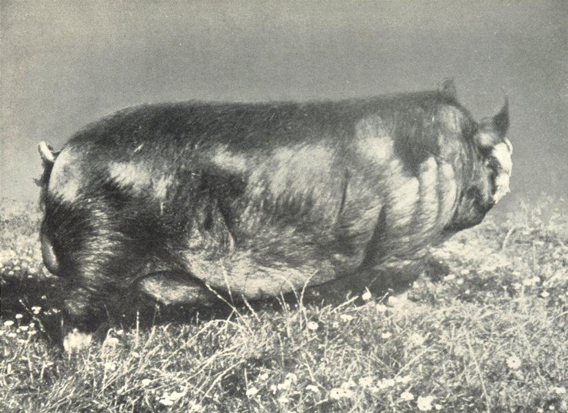 "Associate Product PIGS. Berks Boar-""Baron Kitchener""; Prizewinner Royal Lancs. show, 1903 1912"