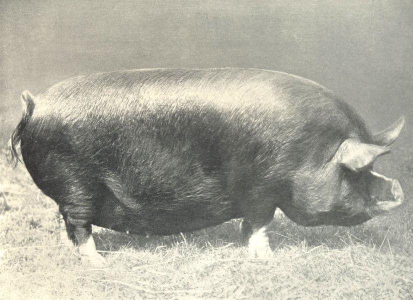 """Associate Product PIGS. Berkshire Sow-""""Dorcas"""" show prizewinner, 1907 1912 old antique print"""